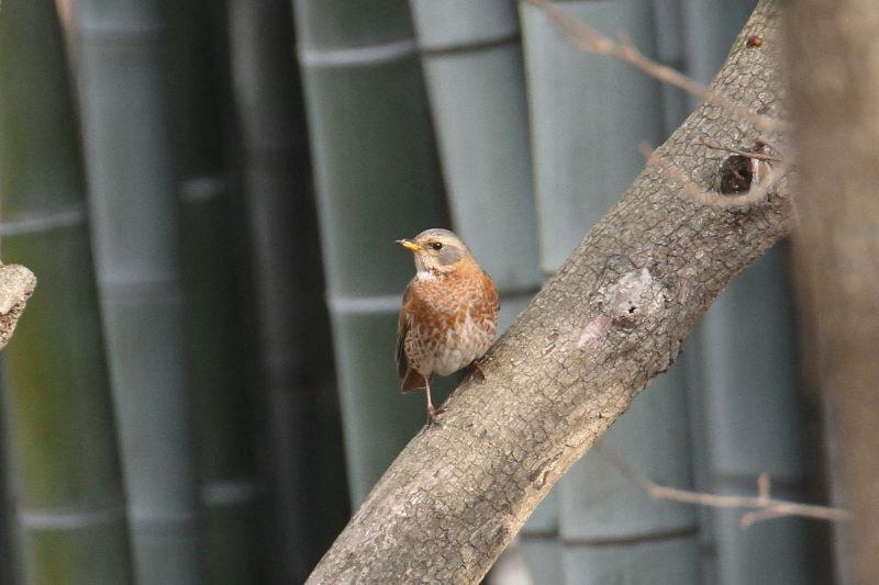 ハチジョウツグミ (7態-5) 成鳥 山田池公園 枚方市 2015/01/04 Photo by Manda