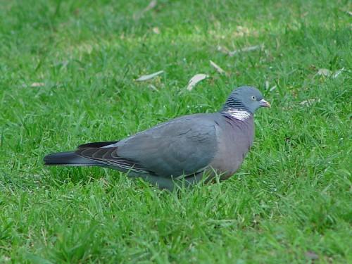 �@ モリバト 成鳥  デティーロ公園 マドリッド スペイン Parque del Retiro, Madrid, Spain 2005/04/19 Photo by Kohyuh