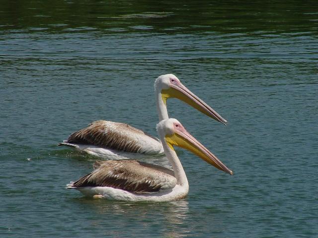 �@ モモイロペリカン 若鳥  ケルキニ湖 ギリシャ Kerkini, Greece 2008/05/28 Photo by Kohyuh