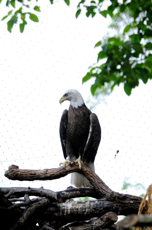 ハクトウワシ (3態-1) 国立動物園 ワシントンDC  米国 National Zoological Park, Wasington, DC, America 2013/05/27 Photo by Kohyuh