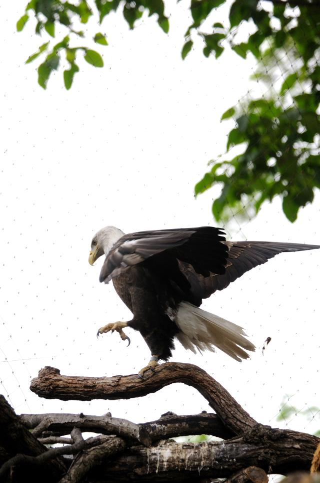 ハクトウワシ (3態-2) 国立動物園 ワシントンDC  米国 National Zoological Park, Wasington, DC, America 2013/05/27 Photo by Kohyuh