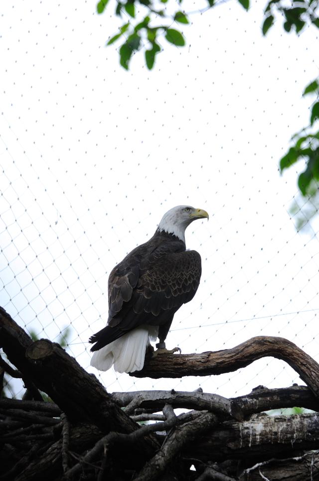ハクトウワシ (3態-3) 国立動物園 ワシントンDC  米国 National Zoological Park, Wasington, DC, America 2013/05/27 Photo by Kohyuh