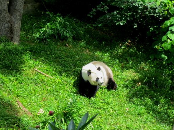 パンダはどこでも人気者