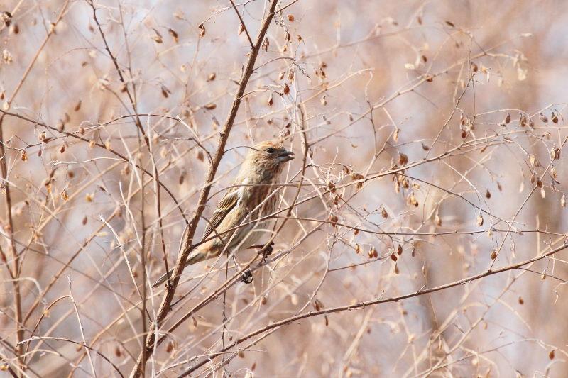 オオマシコ (9態-3) 成鳥 ♀ 神戸市立森林植物園 神戸市 2015/02/11  Photo by Manda