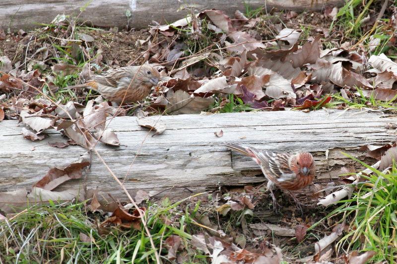 オオマシコ (9態-4) 成鳥 ♀♂ 神戸市立森林植物園 神戸市 2015/02/11  Photo by Manda