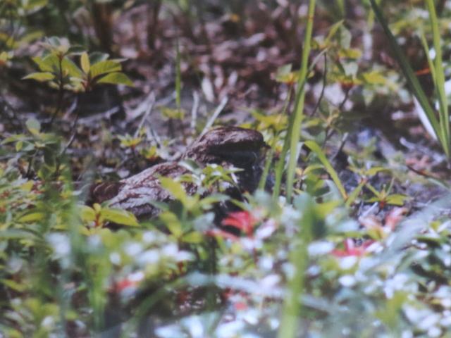 ヨタカの抱卵 比良山 滋賀県 某年・某月・某日 Photo by Koike