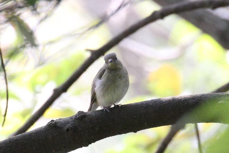 キビタキ♀ 幼鳥 (3態-2) 2015/10/30 男山 八幡市 Photo by Manda