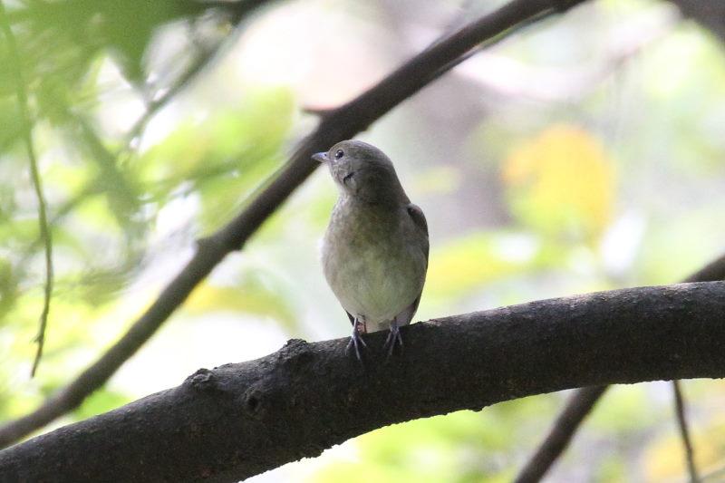 キビタキ♀ 幼鳥 (3態-3) 2015/10/30 男山 八幡市 Photo by Manda