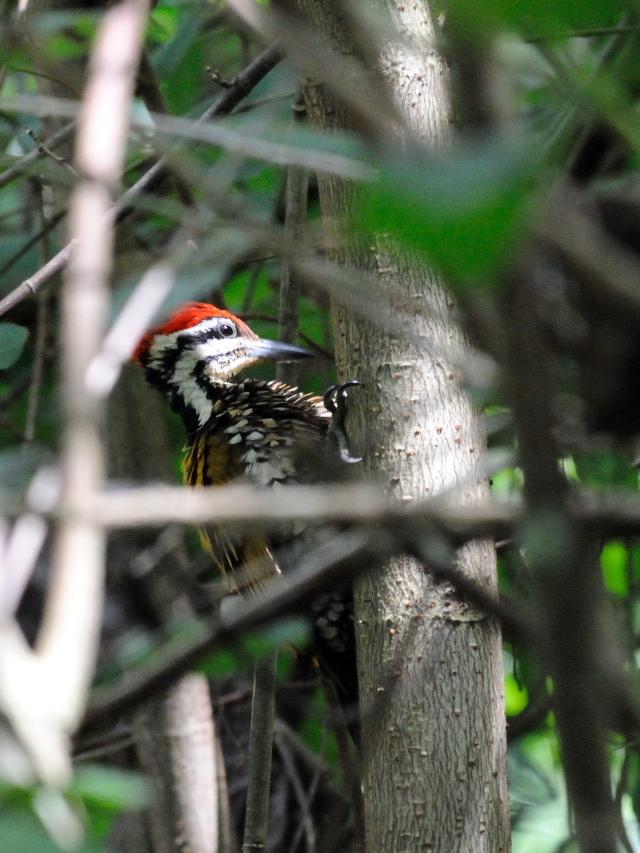 ズアカミユビゲラ ♂ (5態-1) クアラ・セランゴール自然公園 マレーシア Kuala Selangol Nature Park (Taman Alam Kuala Selangol), Malaysia 2010/06/10 Photo by Kohyuh