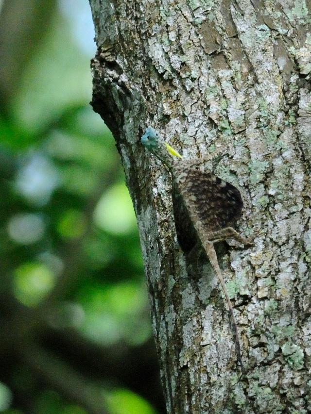 トビトカゲの一種