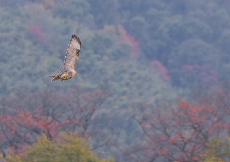 木津川を飛ぶ猛禽 (7態-6) 木津川 八幡市 Photo by Takase