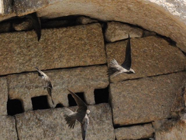 シロハラアマツバメ 成鳥 (8態-4) カッパドキア</a> トルコ Cappadocia, Turkey 2015/06/08 Photo by Kohyuh