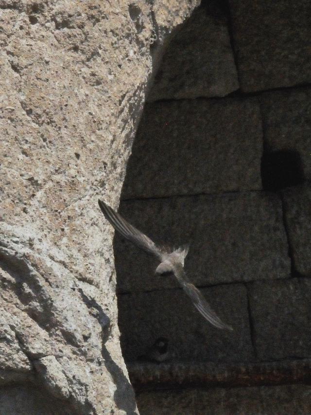 シロハラアマツバメ 成鳥 (8態-5) カッパドキア</a> トルコ Cappadocia, Turkey 2015/06/08 Photo by Kohyuh