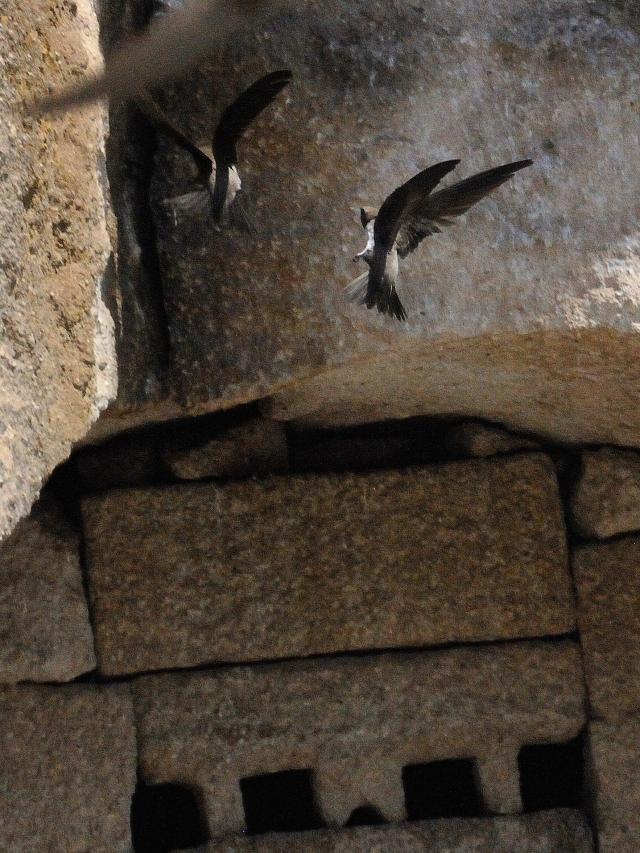 シロハラアマツバメ 成鳥 (8態-6) カッパドキア</a> トルコ Cappadocia, Turkey 2015/06/08 Photo by Kohyuh