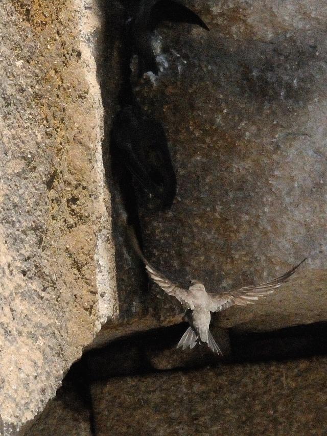 シロハラアマツバメ 成鳥 (8態-7) カッパドキア</a> トルコ Cappadocia, Turkey 2015/06/08 Photo by Kohyuh