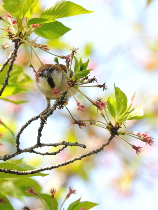 ニュウナイスズメ ♂ 成鳥 (4態-4) 八幡市 さくら公園 2016/04/15 Photo by Kohyuh