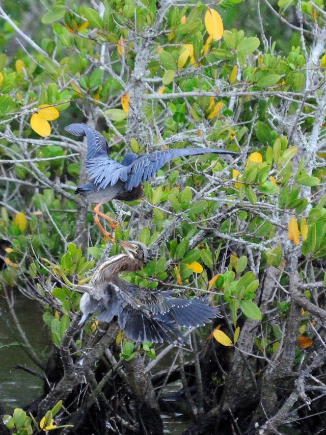 アメリカササゴイ (計9態-8)ブラック・ポイント・ドライブメリット島国立野生動物保護区メリット島 フロリダ 米国 2013/06/02 Photo by Kohyuh