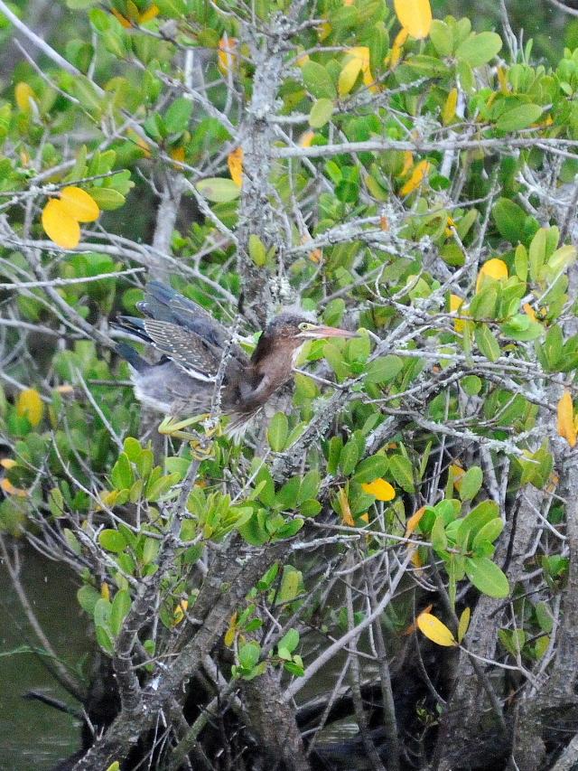 アメリカササゴイ (計9態-9)ブラック・ポイント・ドライブメリット島国立野生動物保護区メリット島 フロリダ 米国 2013/06/02 Photo by Kohyuh