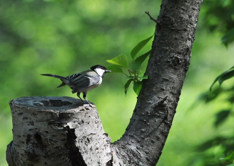 photo6 さくら公園の野鳥たち 八幡市 2016/04/19-04/30 Photo by Takase