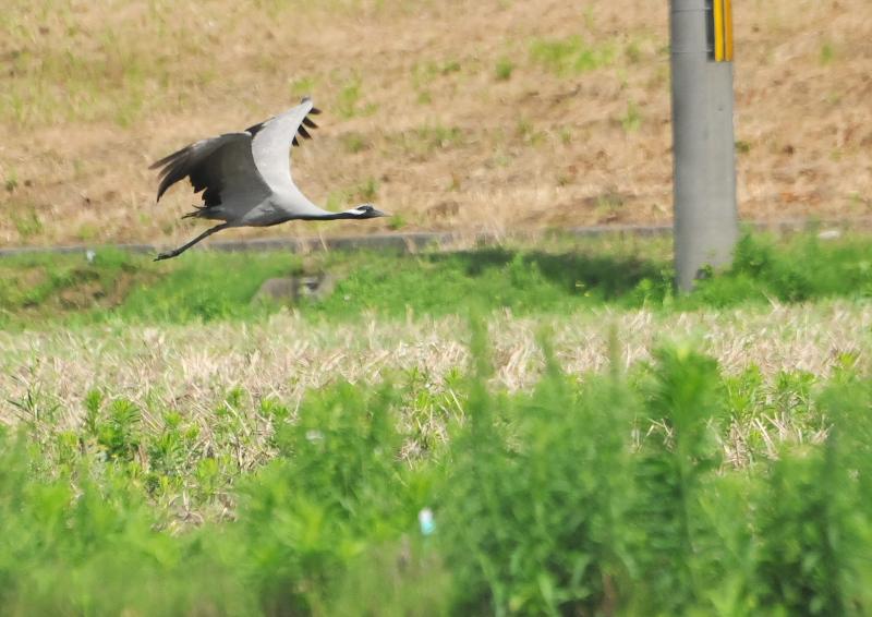 アネハヅル 成鳥 (5態-1) 福井県 2016/07/10 Photo by Takase